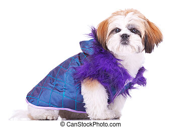 shih tzu puppy dressed like a pimp - side view of a cute...