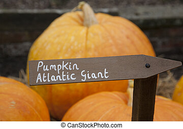 Atlantic Giant Pumpkins - A labelled selection of Atlantic...