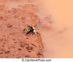Gambia Bee drinking from puddle