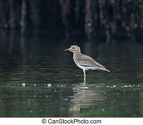 Senegal Thick-knee in bolong in The Gambia