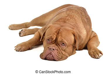 French mastiff lying, isolated on white