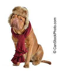 Dog wearing fur cap with ear flaps and a scarf, isolated