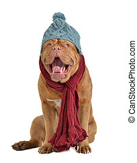 Yawning dog with hat and scarf