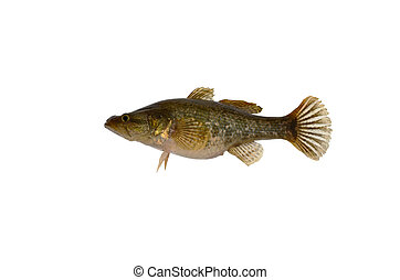 Perch on a white background