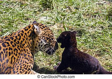 Playing jaguars Panthera onca - Black jaguar cub and mother...