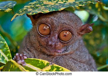 Tarsier under a leaf - Big eyed Tarsier hiding under a leaf
