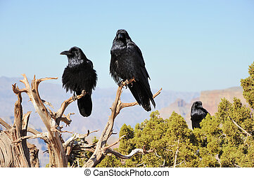 three big crows sitting on the juniper branch and mountains...