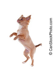 Chihuahua puppy jumping, isolated on white