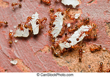 fire ant in nature or in the garden