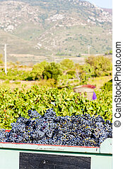 wine harvest in Fitou appellation, Languedoc-Roussillon,...