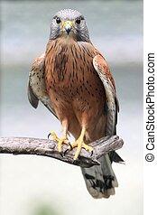 Rock Kestrel Bird