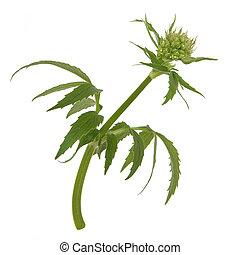 Valerian Herb Flower Bud