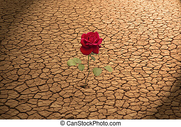 Rose in Cracked Earth - A red rose growing in cracked earth