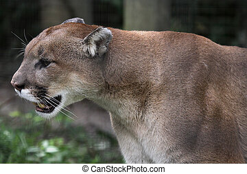 Cougar on the Prowl - A cougar on the prowl (Felis concolor)...