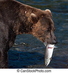 Alaskan brown bear with salmon in its mouth - An Alaskan...