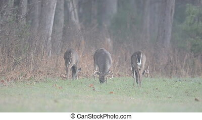 Whitetail deer bucks grazing