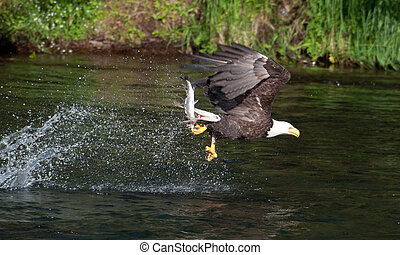 Bald eagle cathing sal - A bald eagle swoops along the...