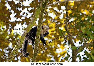 White faced Capuchin sitting in a tree, Manuel Antonio...
