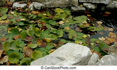 Lotus leaf in pond,rockery stone and shaking water.