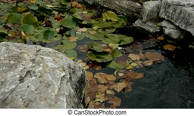 Lotus leaf in pond,rockery stone