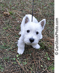 Puppy of west highland white terrier very curious who look...