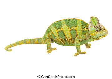 Chameleon on a white background - Close-up of big chameleon...