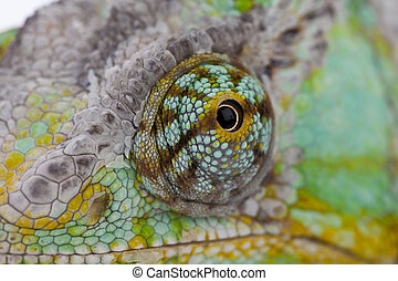 Chameleon - Close-up of big chameleon sitting on a white...