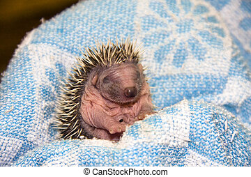 Hedgehog baby - Northern white-breasted hedgehog (Erinaceus...