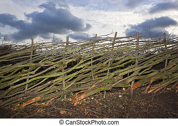 newly layered hedge - a newly layered or layed hawthorn...