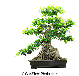 Ficus bonsai isolated on white background