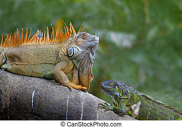 Green Iguana mating game - Two Green Iguanas facing each...