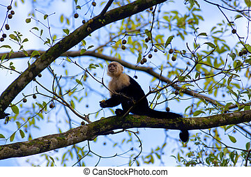 White faced Capuchin sitting in a tree, with blue sky in the...