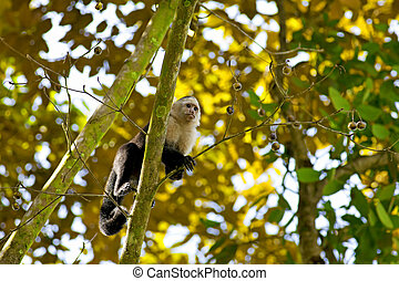 White faced Capuchin sitting in a tree, Manuel Antonio...
