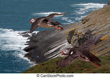 Puffins Flying - Two Puffins during the mating season,...