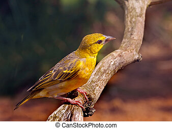 Yellowhammer - An adult male Yellowhammer, which is a...