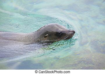 Sea lion swimming in the ocean near Isabela, Galapagos