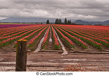 Tulip Farmland in Spring Storm - This agricultural image is...