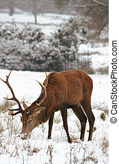 Deer in the snow Covered Richmond Park. Richmond Park is the...