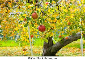 Apple tree - Ripe red apple on tree, japanese apple