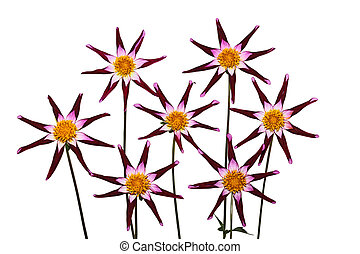 Red Star Dahlia - Red star dahlia flower isolated on white