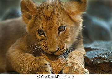 Young Lioness - Four Month old Lioness playing with small...