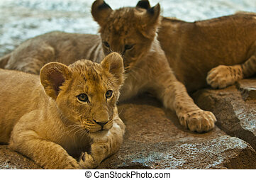 Little Lions - Three four month old lions lying on the rocks