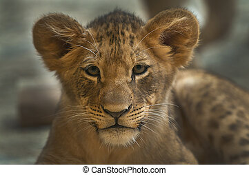 Little Lioness - Four month old lioness looking directly...