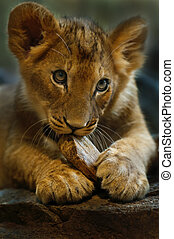Little Lion - Four Month old Lioness playing with small...
