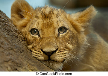 Sad Little Lion - Four Month old lion lying on the rock...