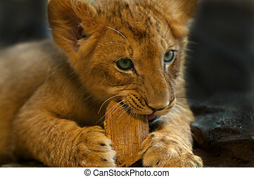 Cute Lioness - Four Month old Lioness playing with small...