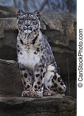 Snow Leopard - Adult Snow Leopard Sitting on the rock...