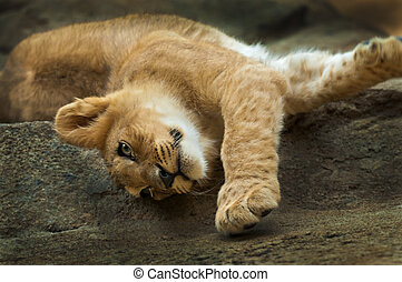 Little Lion - Cute little lion streching after short nap