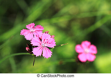 Pink flowers - Beautiful pink wild flower - Dianthus...