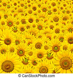 sunflower background - background made of beautiful yellow...